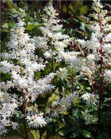 Astilbe hybride Rock and Roll