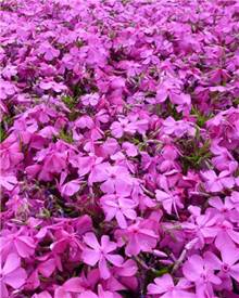 Phlox mousse McDaniel's Cushion