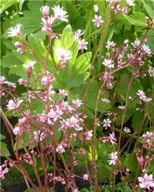 Saxifrage des ombrages Clarence Elliott