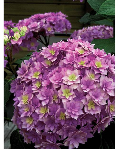 Hortensia Expression