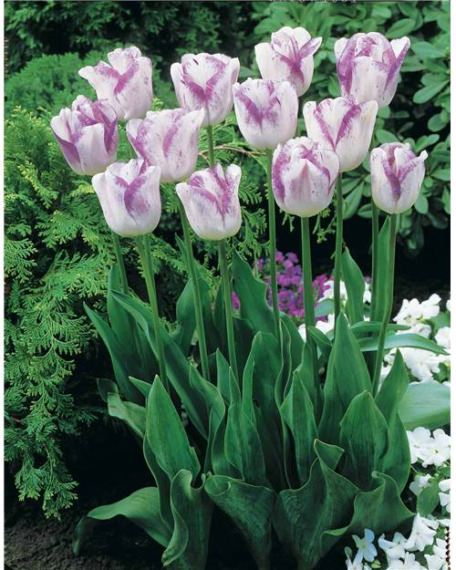 5 Tulipes à longues tiges 'Shirley'