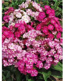 3 Phlox Pot pourri
