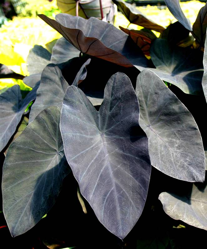 colocasia esculenta cv  black magic