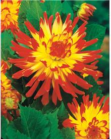 Collection de 8 Dahlias cactus