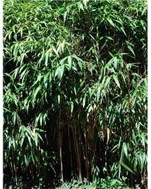 Bambou Phyllostachys bissetti