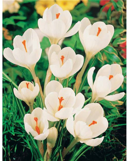 15 Crocus 'Jeanne d'Arc'