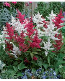 2 Astilbes assorties : 1 rouge,1 blanche