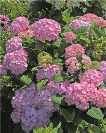 Hortensia So Long® Ebony Rosy