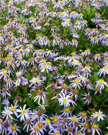 Kaliméris incisa Nana Blue Aster du Japon Nana Blue