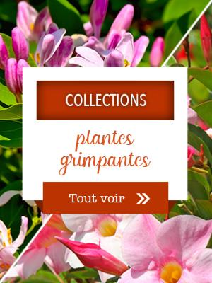 Collections plantes grimpantes