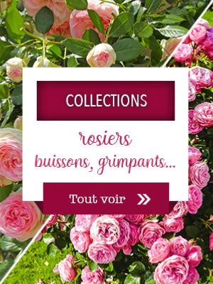 Collections rosiers buisson, grimpants